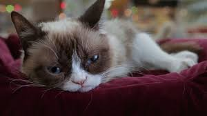 Grumpy Cat Has Died Youtube - pet celebrities how grumpy cat became a household name abc news