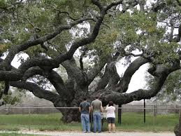 Oak Express Corpus Christi by Texas To Give One Of Nation U0027s Oldest Trees New Protection