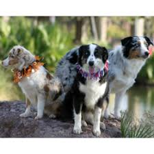 australian shepherd kennel club miniature australian shepherd puppies for sale from reputable dog