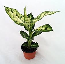 25 Easy Houseplants Easy To by Amazon Com Splash Dieffenbachia Easy To Grow Houseplant Patio