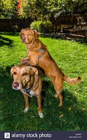 australian shepherd or golden retriever dog and puppy an australian shepherd golden retriever mix puppy