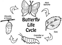 butterfly life cycle coloring page 12897