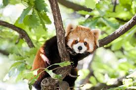 12 furry facts about red pandas mental floss