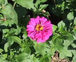 Zinnia Flower How To Grow Zinnia Growing Zinnia By Garden Hobbies