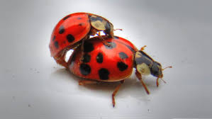 ladybugs mating youtube