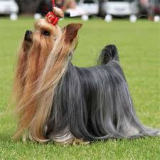 types of yorkie haircuts 5 adorable yorkie haircuts tulsa pet grooming the paw spa