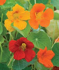 nasturtium flowers dbl gleam mixed colors nasturtium seeds and plants annual flower