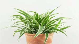 spider plant chlorophytum comosum youtube