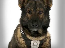 belgian shepherd edmonton police dog recovering from stab wounds but may never return to