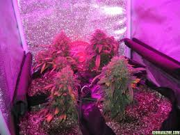 growing autoflower with led lights 120w led autoflower tent grow easy ryder diesel ryder documentary