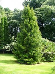 umbrella pine information learn about japanese umbrella pine care
