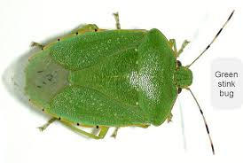 Bed Bugs Smell Green Stink Bug Soybeans Dupont Pioneer