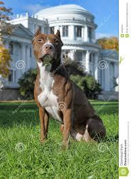 american pitbull terrier merchandise american staffordshire pit bull terrier stock photo image 48426757