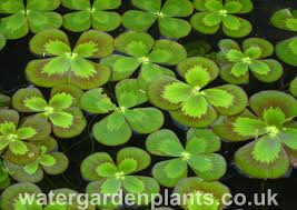 native uk pond plants marsilea mutica water garden plants