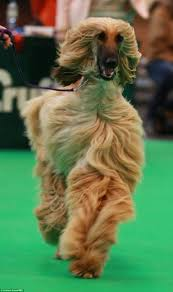 afghan hound attack hounds in headdresses pooches in prams day three of crufts 2015