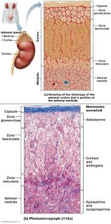 Anatomy And Physiology Study Tools Best 20 Endocrine System Ideas On Pinterest Physiology Human