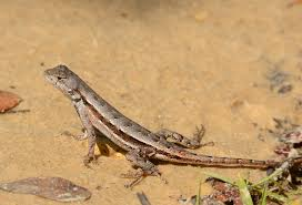 Big Lizard In My Backyard Lyrics Ocala National Forest Archives Volusia Naturalist