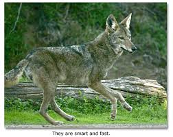 Coyote In My Backyard Coyotes Howls In The Night Desertusa