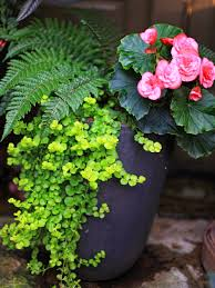 outdoor u0026 garden design wonderful creeping jenny for awesome lawn