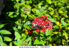 Pentas Flower Pentas Flower Stock Images Royalty Free Images U0026 Vectors