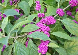 native plants in landscape management american beautyberry shines in mississippi mississippi state