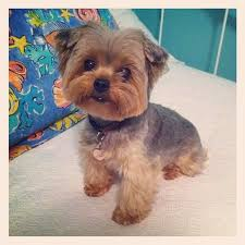 hair accessories for yorkie poos teddy bear yorkie haircut all things pet care pinterest
