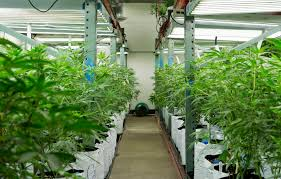 native pot plants philly u0027s future inside a 25 million marijuana empire