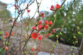 chaenomeles or flowering quince fresh by northwest