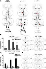 Seeking Pl Prelimbic To Accumbens Pathway Is Recruited In A Dopamine