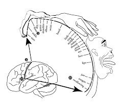 Nervous System Concept Map The Homunculus In Chapter 02 Human Nervous System From