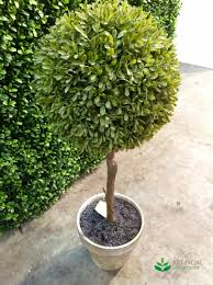 Topiaries Brisbane - artificial boxwood topiary in pot 60cm