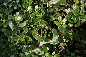 idaho native plants kinnikinnick bearberry arctostaphylos uva ursi pacific