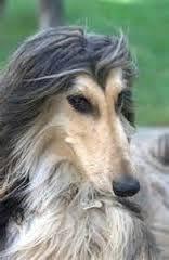 afghan hound dogs 101 dogs 101 afghan hound afghan hounds pinterest afghan