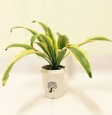 dracaena dracaena dracaena fragrans u2013 vayuimplant