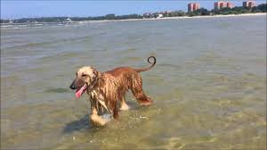 afghan hound stupid mia the afghan hound at the beach for the first time youtube
