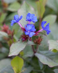 bog myrtle native flavours red varieties auntie dogma u0027s garden spot page 2