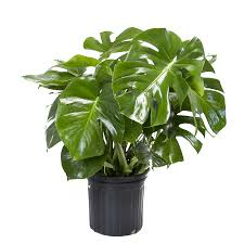 philodendron shop livetrends split leaf philodendron pot ltl49 at lowes com