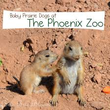 baby prairie dogs at the phoenix zoo brie brie blooms