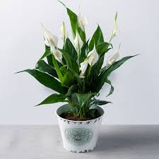 peace plant peace in zinc pot buy peace plants bunches co uk