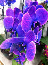 blue and purple orchids blue orchids em or ubloom