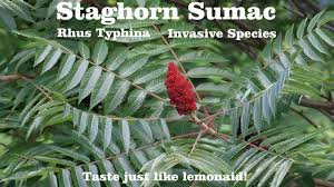 staghorn sumac tree rhus typhina it s invasive but i m