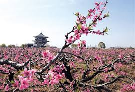 Peach Flowers Pretty Peach Flowers Bring Back Memories Of Ancient China