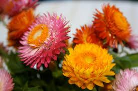 straw flowers vases of strawflowers paper daisies studio diary soulsongart