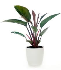 indoor plants nz philodendron congo in white pot corporate gift nz philodenron