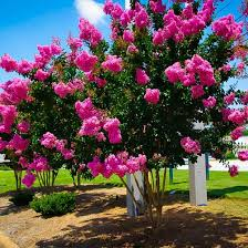 sioux crape myrtle for sale the tree center