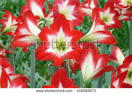 Amaryllis Flowers Amaryllis Stock Images Royalty Free Images U0026 Vectors Shutterstock
