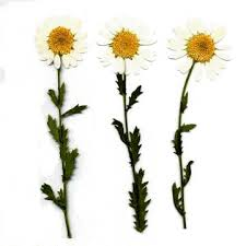 pressed flowers pressed flower gallery flowers white northpole w leaves white