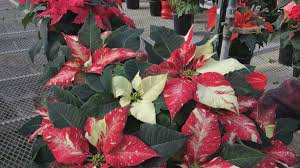 holiday cheer takes root at poinsettia farm in woodstock chicago
