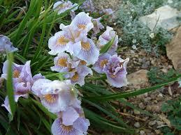 california native plant california native plants