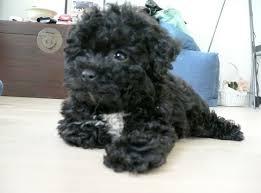 shih pooh haircut shih poo haircuts shih poo puppy cut newhairstylesformen2014